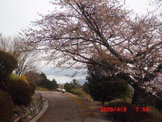 0403 2分咲き2.JPG