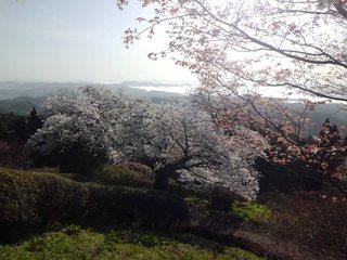 310331 登山道中央サクラ.JPG